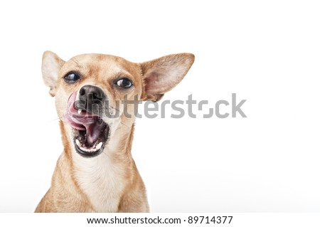 chihuahua with open mouth and tongue