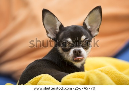 Chihuahua with  stuck out tongue - stock photo