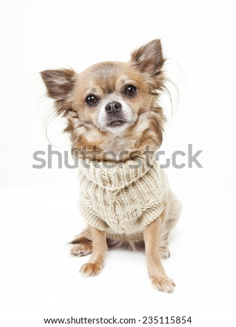 chihuahua with wool sweater looking at the camera. white background