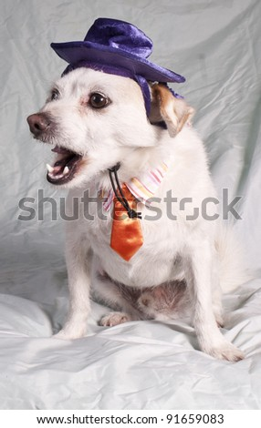 chihuahua yawning in costume - stock photo