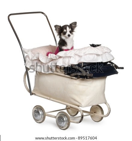 Chihuahua, 1 year old, in baby stroller in front of white background - stock photo