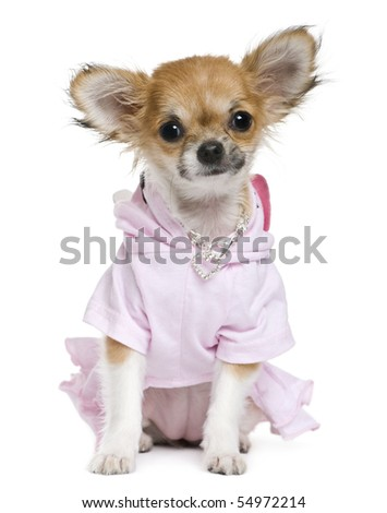 Chihuahua, 2 years old, dressed in front of white background