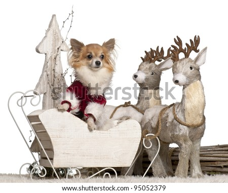 Chihuahua, 5 years old, in Christmas sleigh in front of white background