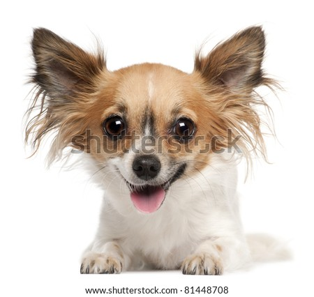 Chihuahua, 2 years old, lying in front of white background - stock photo