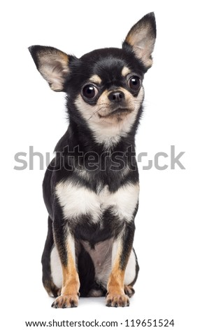 Chihuahua, 1.5 years old, sitting and looking at camera against white background - stock photo