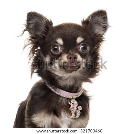 Chihuahuain front of white background - stock photo