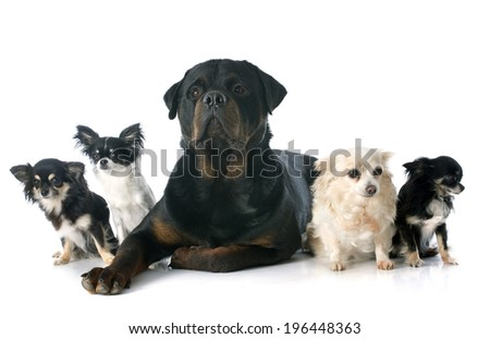 chihuahuas and rottweiler in front of white background