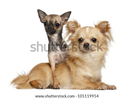 Chihuahuas lying against white background