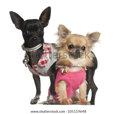 Chihuahuas sitting against white background