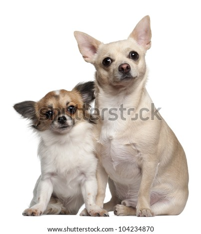 Chihuahuas, 1.5 years old and 1 year old, sitting against white background