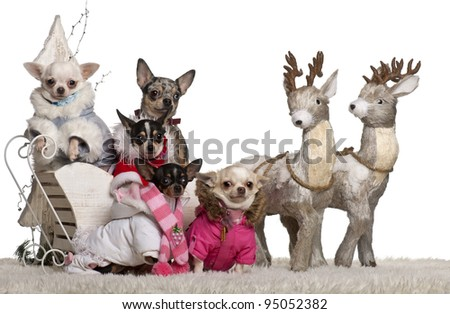 Chihuahuas, 4 years, 1.5 years and 2 years old with Chihuahua puppies, 8 months and 10 months old, in Christmas sleigh in front of white background - stock photo