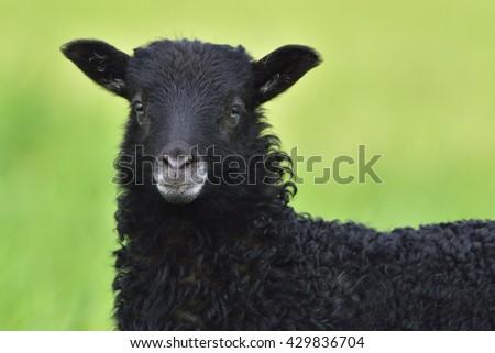 Child from a Heidschnucke sheep - stock photo