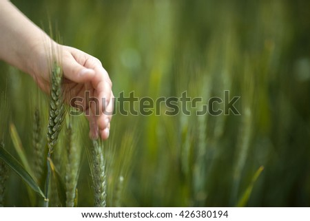 Child Hand touching Wheat Plant on the Field in Spring - stock photo