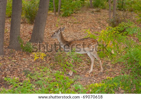 child of the red deer in wood . Bandhavgarh. India.