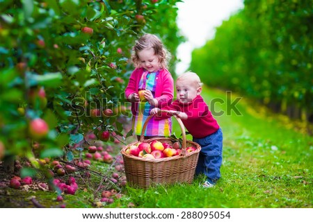 Child picking apples on a farm in autumn. Little girl and boy play in apple tree orchard. Kids pick fruit in a basket. Toddler and baby eat fruits at fall harvest. Outdoor fun for children.  - stock photo