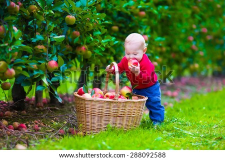 Child picking apples on a farm. Little boy playing in apple tree orchard. Kids pick fruit in a basket. Baby eating healthy fruits at fall harvest. Outdoor fun for children.  Kid with a basket. - stock photo