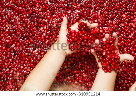 Child picking berries in the hand - stock photo