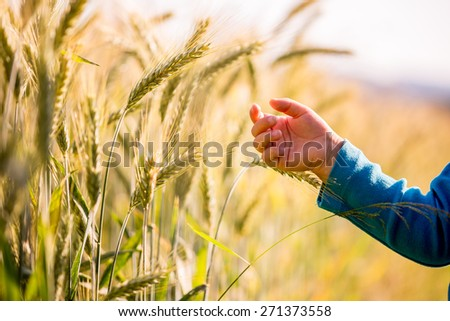 Child reaching out to touch young ears of wheat ripening in a field glowing in the early morning light in a conceptual image. - stock photo