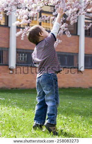 Child reaching up to blossoming cherry tree in spring.