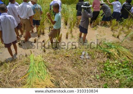 Children harvest rice in Rice Fields / PHITSANULOK THAILAND - SEPTEMBER 17: Children are helping to harvest rice in Rice Fields in Chattrakarn Phitsanulok,Thailand on September 17, 2012. - stock photo