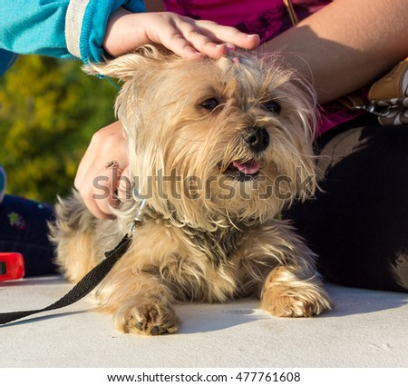 Children's hand stroking the young Yorkshire Terrier.