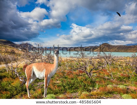 Chile, Patagonia, Torres del Paine Biosphere Reserve. Attentive guanaco on the lake