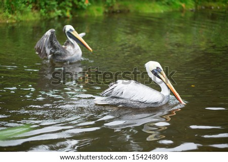 Chile pelicans in natural environment