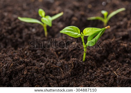 chili pepper (piri piri) sprouts isolated on soil - stock photo