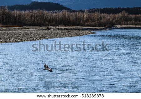 Chilkat river near Kluckwan in Southeast Alaska with a Great Blue Heron flying in autumn.