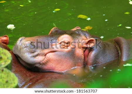 Chill out hippopotamus in the river