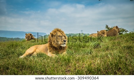 Chilling Lion  - stock photo