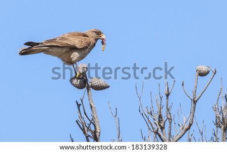 Chimango Caracara (Milvago chimango) feeding on a dead animal. Patagonia, Argentina, South America - stock photo