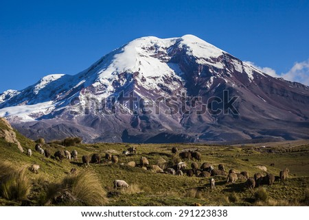 Chimborazo volcano and sheep on the moor, Andes, Ecuador - stock photo