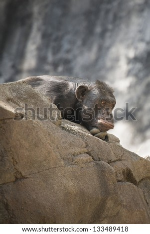 Chimpanzee - stock photo