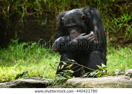 chimpanzee all alone with folded arms