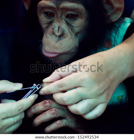 Chimpanzee baby (cut Nail) - stock photo