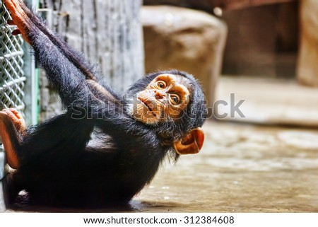 Chimpanzee Baby in its natural habitat in the wild. - stock photo