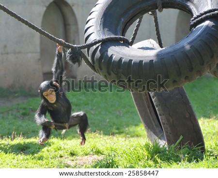 Chimpanzee baby swinging on a rope. - stock photo