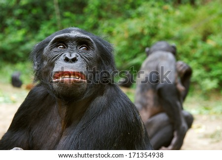 Chimpanzee bonobo ( Pan paniscus)  portrait. At a short distance, close up. The bonobo ( Pan paniscus) - stock photo