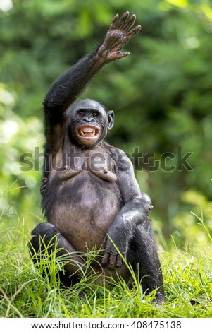 Chimpanzee Bonobo sits with the raised hand on a grass. short distance, close up. The Bonobo ( Pan paniscus), called the pygmy chimpanzee. Democratic Republic of Congo. Africa  - stock photo