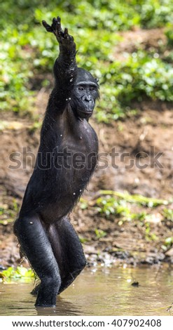Chimpanzee Bonobo standing on her legs and hand up. at a short distance, close up. The Bonobo ( Pan paniscus), called the pygmy chimpanzee. Democratic Republic of Congo. Africa  - stock photo