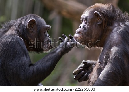 chimpanzee checks out the chin of another chimp  - stock photo