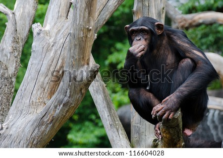 Chimpanzee chewing grass up in an old dead tree - stock photo