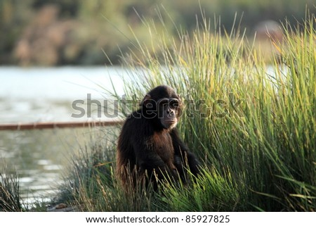 chimpanzee Closeup in the wild - stock photo