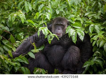Chimpanzee cute - stock photo