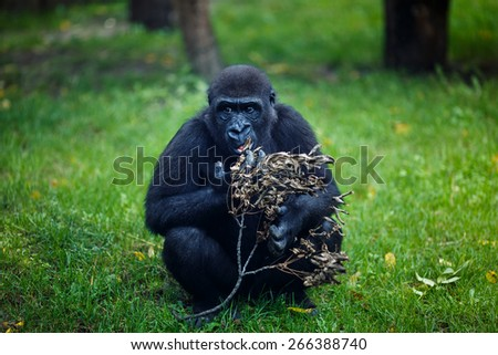 Chimpanzee eats a dry twig in the Budapest Zoo - stock photo