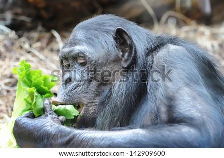 Chimpanzee eats greenery - stock photo