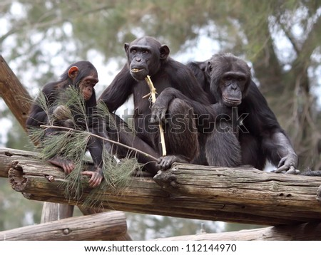 chimpanzee family - stock photo
