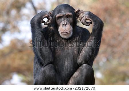 Chimpanzee hear no evil - stock photo
