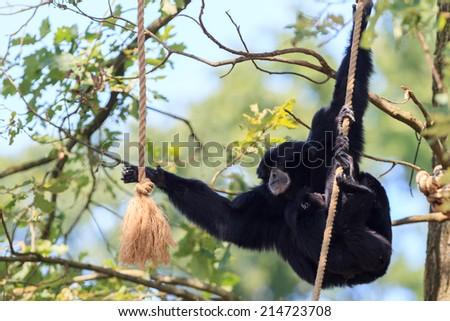Chimpanzee in Arnhem Zoo - stock photo